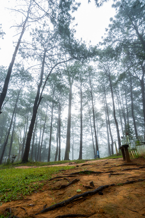 misty forest of pines  in the early morning at  Khao Kho, Thailand Stock Photo