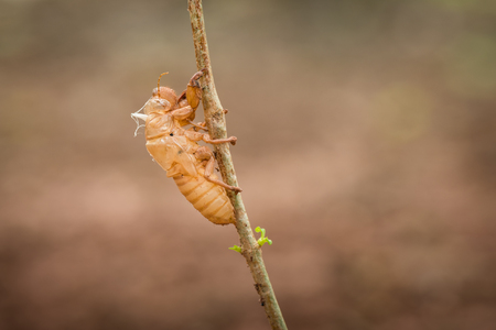 Cicada shell moult on tree in nature