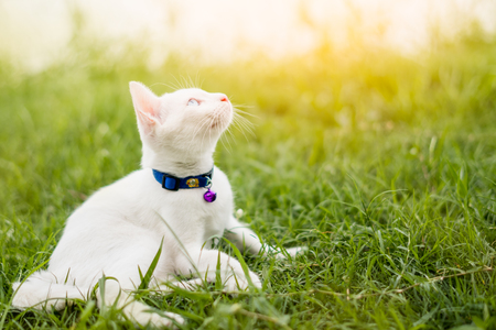 Two color eyes of white kitten in the garden, cat on grass Stock Photo