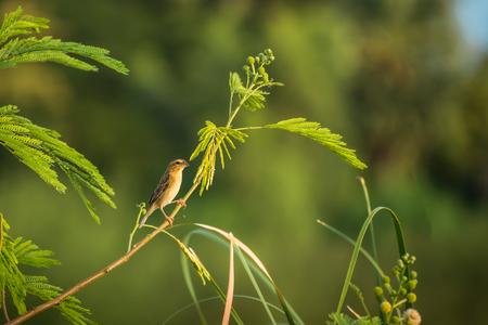 Aziatische gouden wever Ploceus hypoxanthus is een vogelsoort in de Ploceidae-familie. Het wordt gevonden in Cambodja, Indonesië, Laos, Myanmar, Thailand en Vietnam Stockfoto