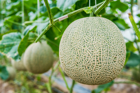 Green fresh organic melon farm inside greenhouse Banco de Imagens