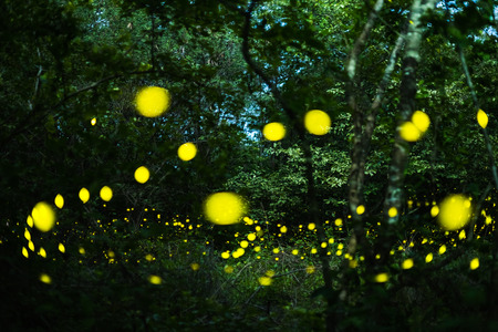 Firefly, lightning bugs flying at night in the forest in Thailand, Lights in the night Stock Photo
