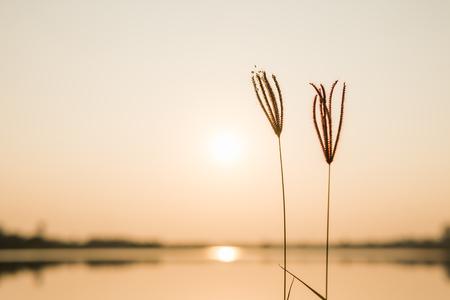 close up grass flower on sunset background