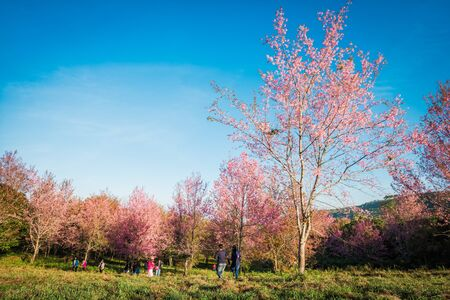 Wild himalayan cherry in sunshine day on top of mountain in Phu Lom Lo, Dan Sai District, Loei Province, Thailand Stock fotó