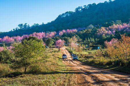 Wild himalayan cherry in sunshine day on top of mountain in Phu Lom Lo, Dan Sai District, Loei Province, Thailand