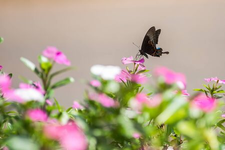 Pink Roseus flower with butterfly in nature