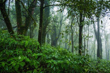 Beautiful tropical rain forest at Ang Ka Nature trail in Doi Inthanon Nature Park, Chiang Mai, Thailand
