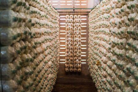 Huître indienne, champignon Phoenix, huître pulmonaire à la ferme