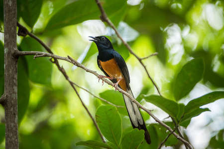Beautiful White-rumped shama on a branch in nature and blur background, Copsychus malabaricus Banco de Imagens