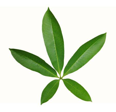 star shape leaf isolated on white background Фото со стока
