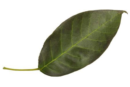 intense: intense dark green leaf isolated on white background