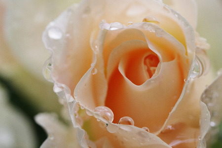 drop water: White Rose & Water drop
