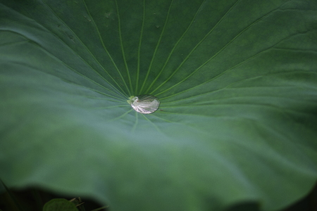 Beautiful lotus leaf and water drop