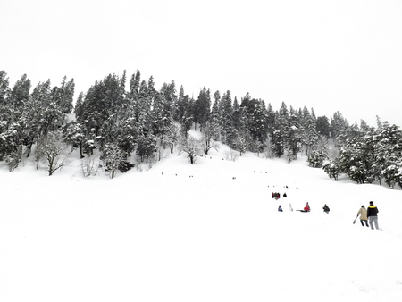 overflows: View of Solang Snowpoint at Manali, Himachal Pradesh, India. Snow overflows on the pine forest mountain everything became white