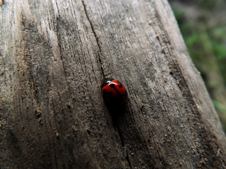 Tiny red ladybug on the pale brown log with cracks. It can be found naturally. In some areas, believe Ladybugs will bring lucky.