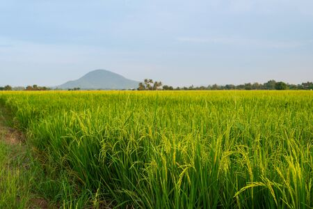 The rice fields are blooming to entering the harvest season