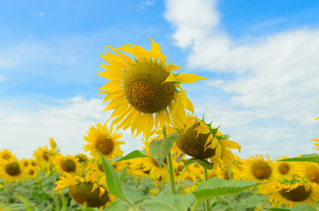 sunflower under blue sky photo