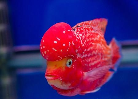buntbarsch: Flowerhorn Cichlid Fisch