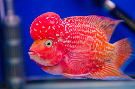 Flowerhorn Cichlid fish photo