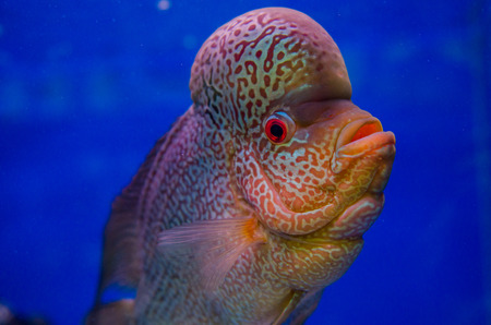 cichlid: Flowerhorn Cichlid fish Stock Photo