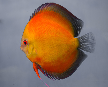 whole creature: Orange discus fish