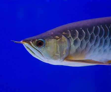 arowana fish photo
