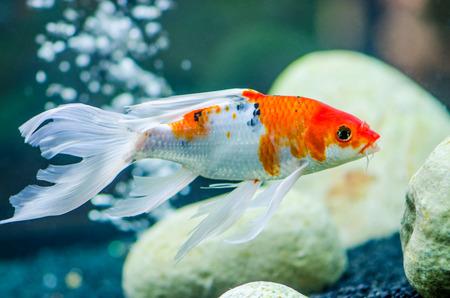 gosanke: koi carps fish