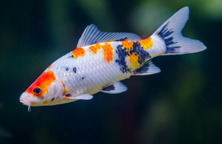 koi: koi carps fish