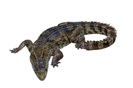 crocodile on white background.