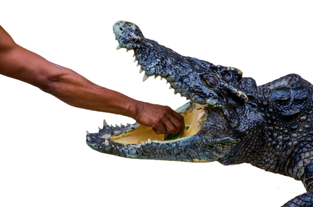 Man put hand into crocodile mount. Stock Photo