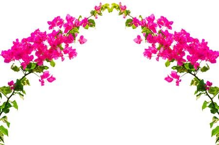 Bougainvillea flower on white background. Stock Photo