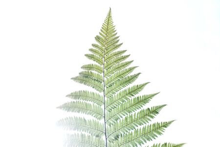silver fern: Fern Leaf, Silver Fern, New Zealand Stock Photo