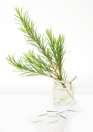 teatree Stock Photo - 86571486