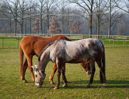 half breed: free horse bareback while eating fresh grass