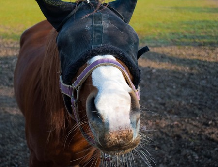 blinders: young brown horse in training with blinders