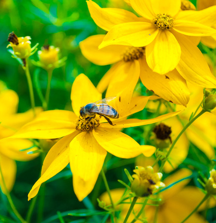 bactericidal: a bee sucking nectar in the fields of yellow flowers