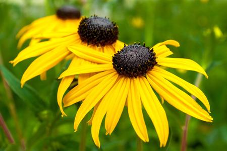 bactericidal: tres flores amarillas con p�talos largos perfumaban
