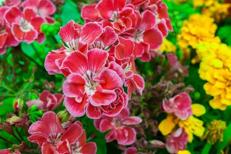 massif de fleurs: fleurs dans le parterre de fleurs avec des p�tales aux couleurs vives