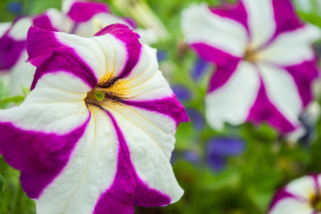 bactericidal: flowers in the flowerbed with bright-colored petals