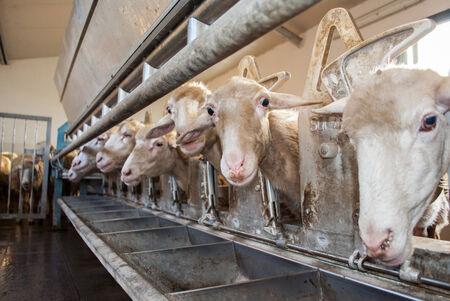 oveja negra: granja de ovejas para la producci�n de leche y lana