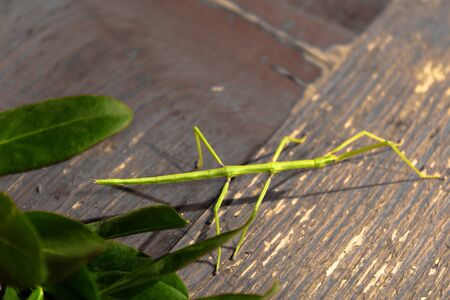 mimicry: the incredible shape and color of the insect stick