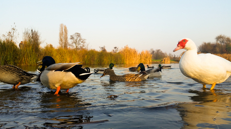webbed feet: They live quiet young ducks in the pond Stock Photo