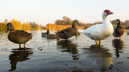 webbed legs: They live quiet young ducks in the pond Stock Photo