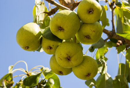green pears firmly attached to the branch of the tree Stock Photo