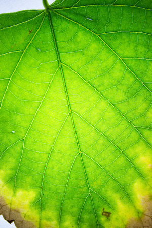 beautiful backlit leaf you notice its internal structure