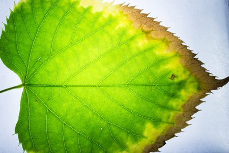 respiration: beautiful backlit leaf you notice its internal structure