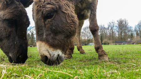 The Italian farm donkeys