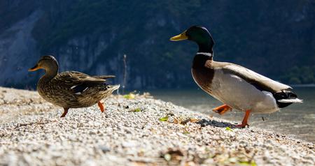 Paar Trolle im alpinen See Standard-Bild - 92884268