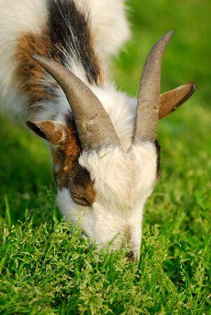 catena: capra