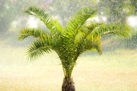 palm tree in the rain photo